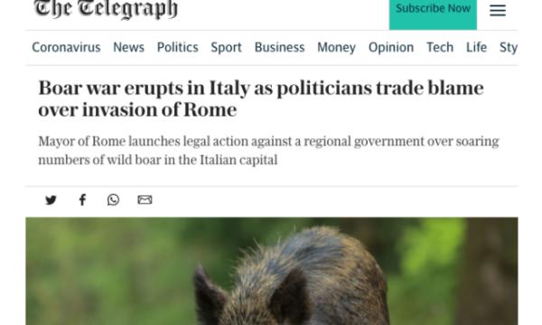 """Lo scandalo cinghiali di Roma sul Telegraph. Anzaldi: """"In 5 anni Raggi non ha fatto nulla"""""""